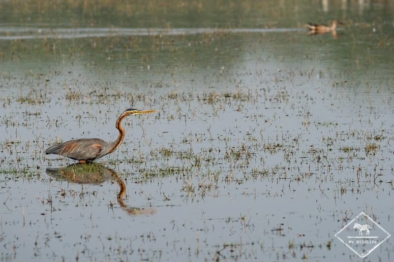 Héron pourpré, Parc national Keoladeo