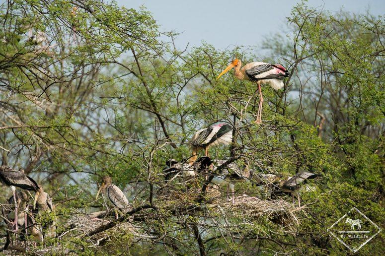 Tandales indiens, Parc national Keoladeo