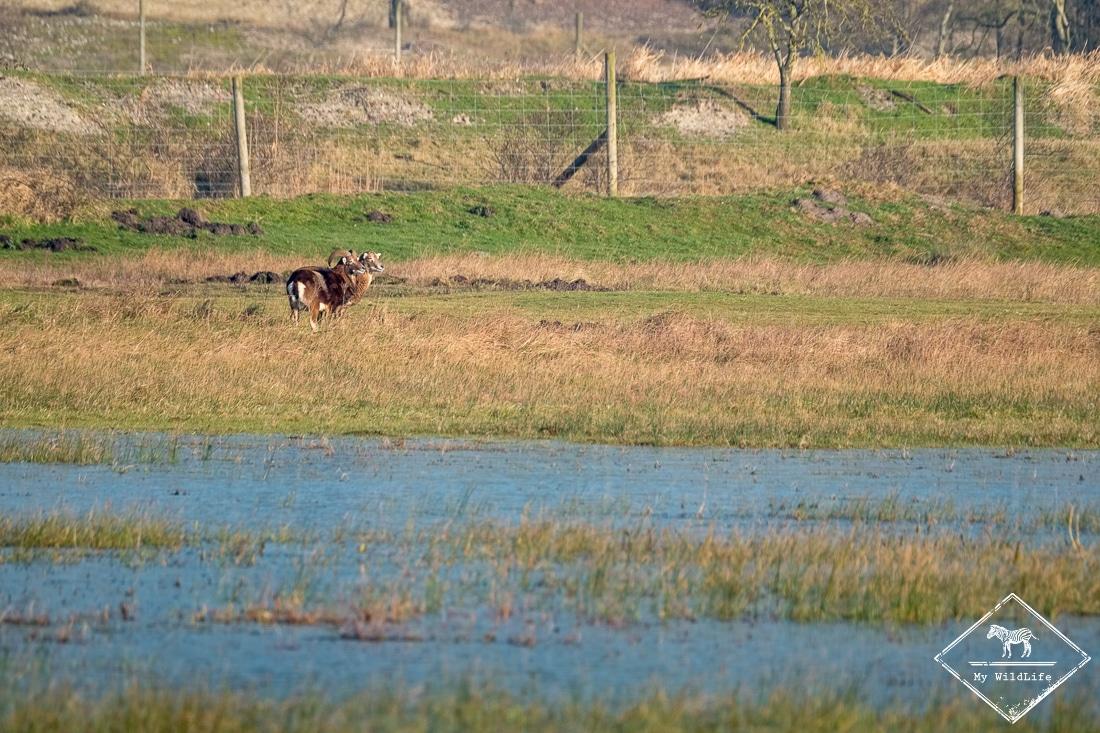 Mouflon, parc du Marquenterre
