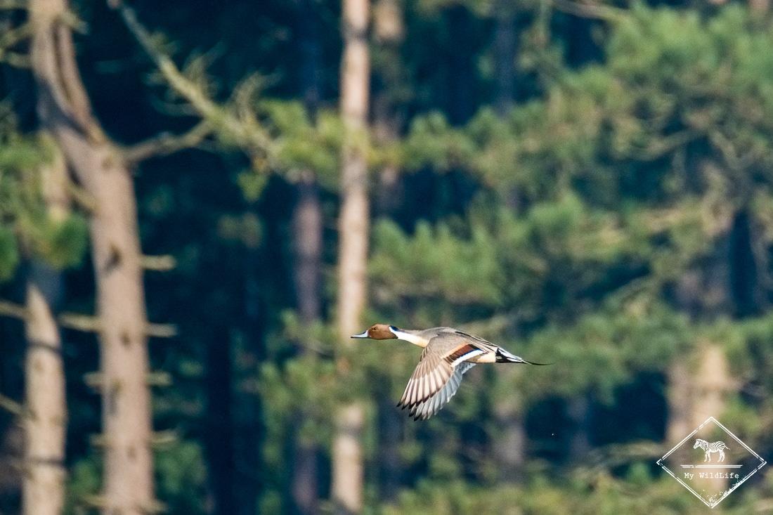 Canard pilet, parc du Marquenterre