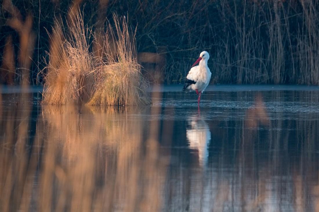 Cigogne blanche, parc du Marquenterre
