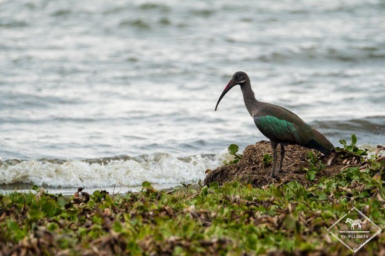 Ibis haguedash, Crescent Island