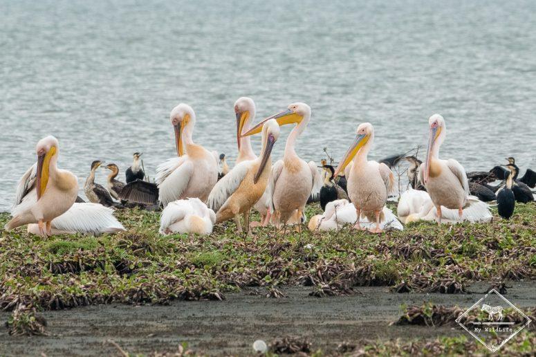 Pélicans blancs, Crescent Island