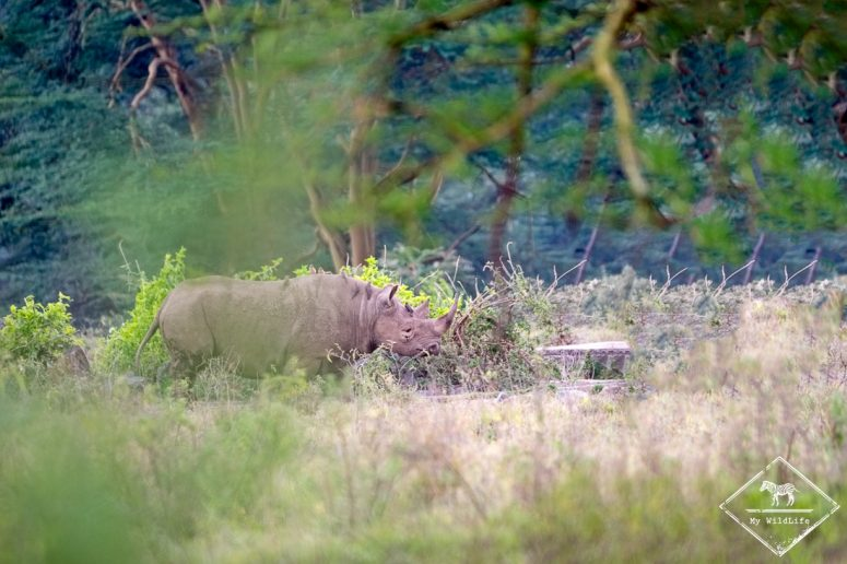 Rhinocéros noir, parc national Nakuru
