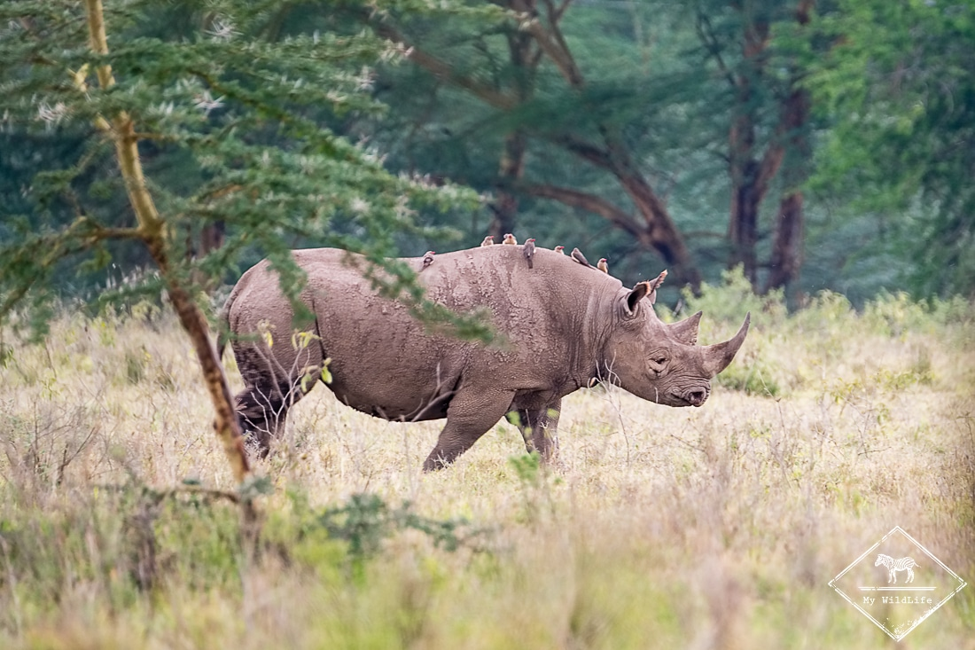 Safari aux lacs Naïvasha et Nakuru dans la Rift Valley