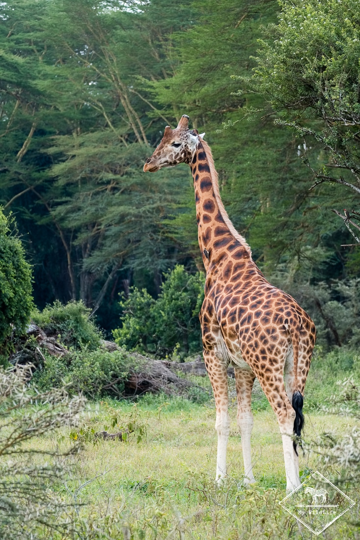 Girafe de Rothschild, parc national Nakuru