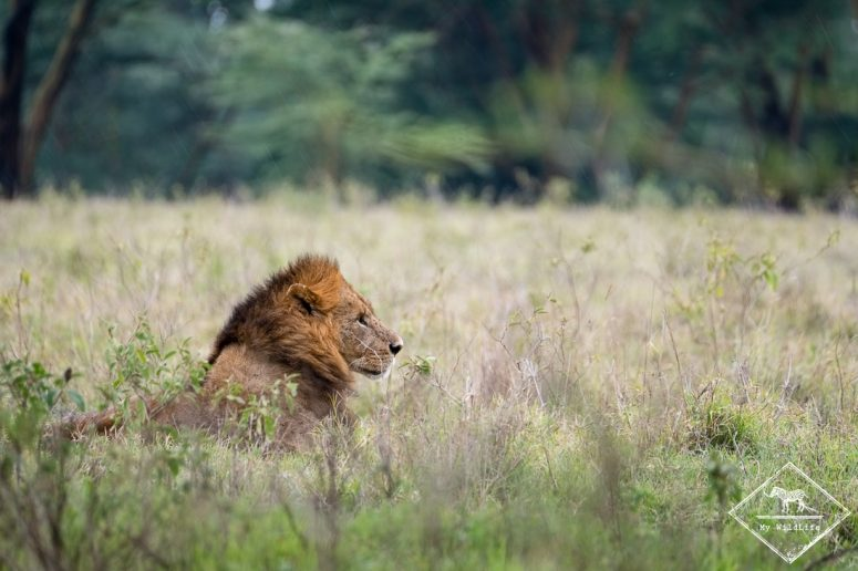 Lion, parc national Nakuru