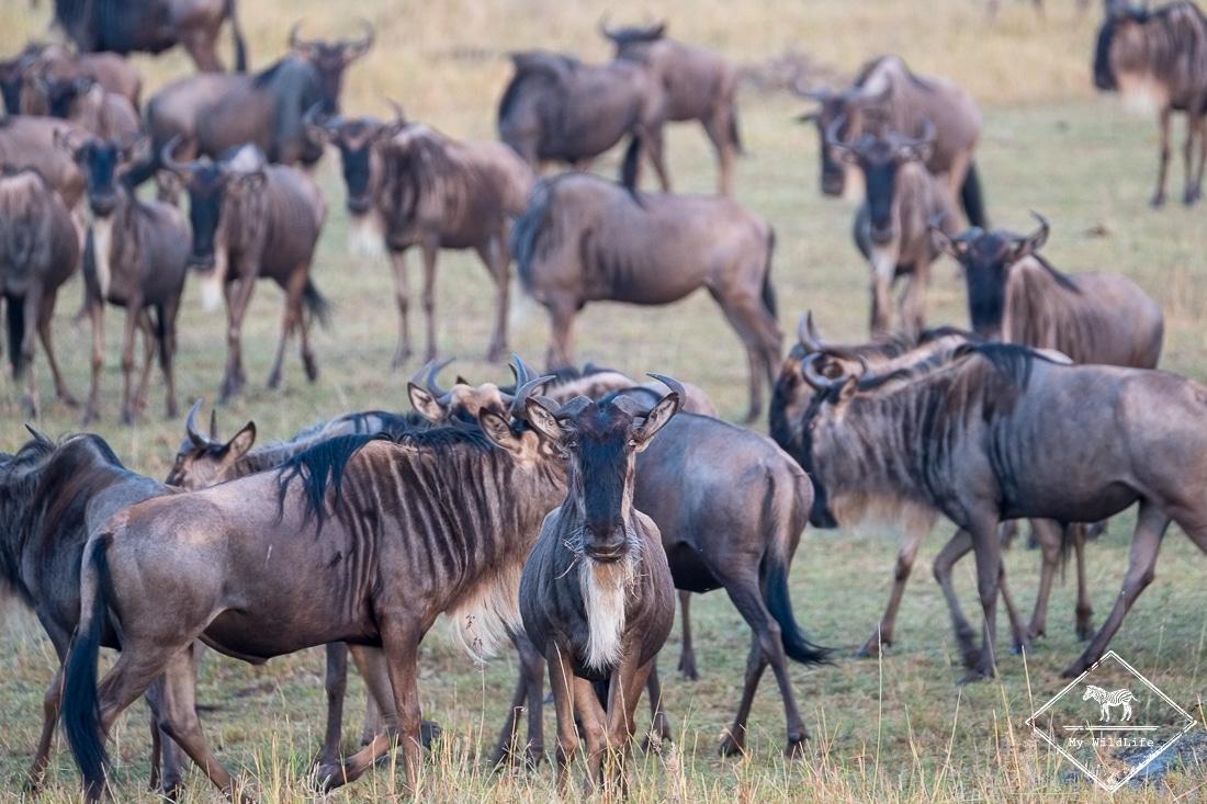 Gnous en migration, Masaï Mara