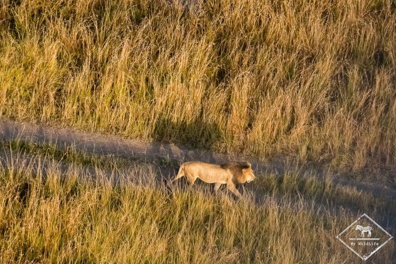 Lion vu du ciel Masaï Mara