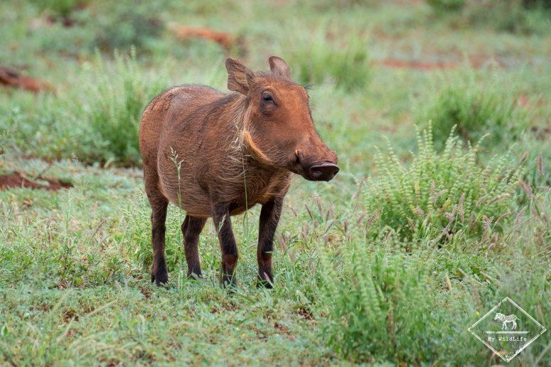 Phacochère, Madikwe Game Reserve