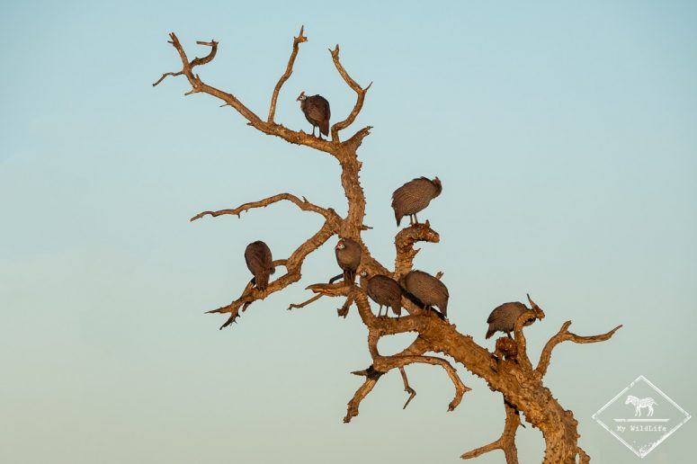 Pintade de Numidie, Madikwe Game Reserve
