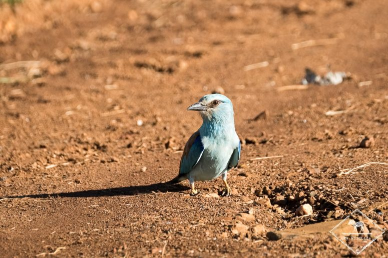 Rollier européen,, Madikwe Game Reserve