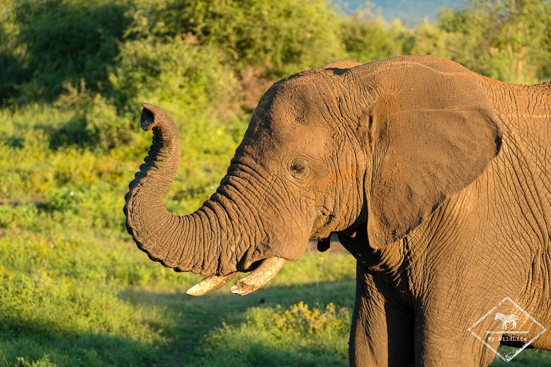 Eléphant, Madikwe Game Reserve