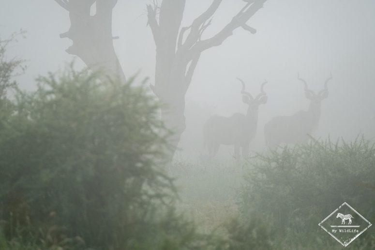 Grand koudou, Madikwe Game Reserve