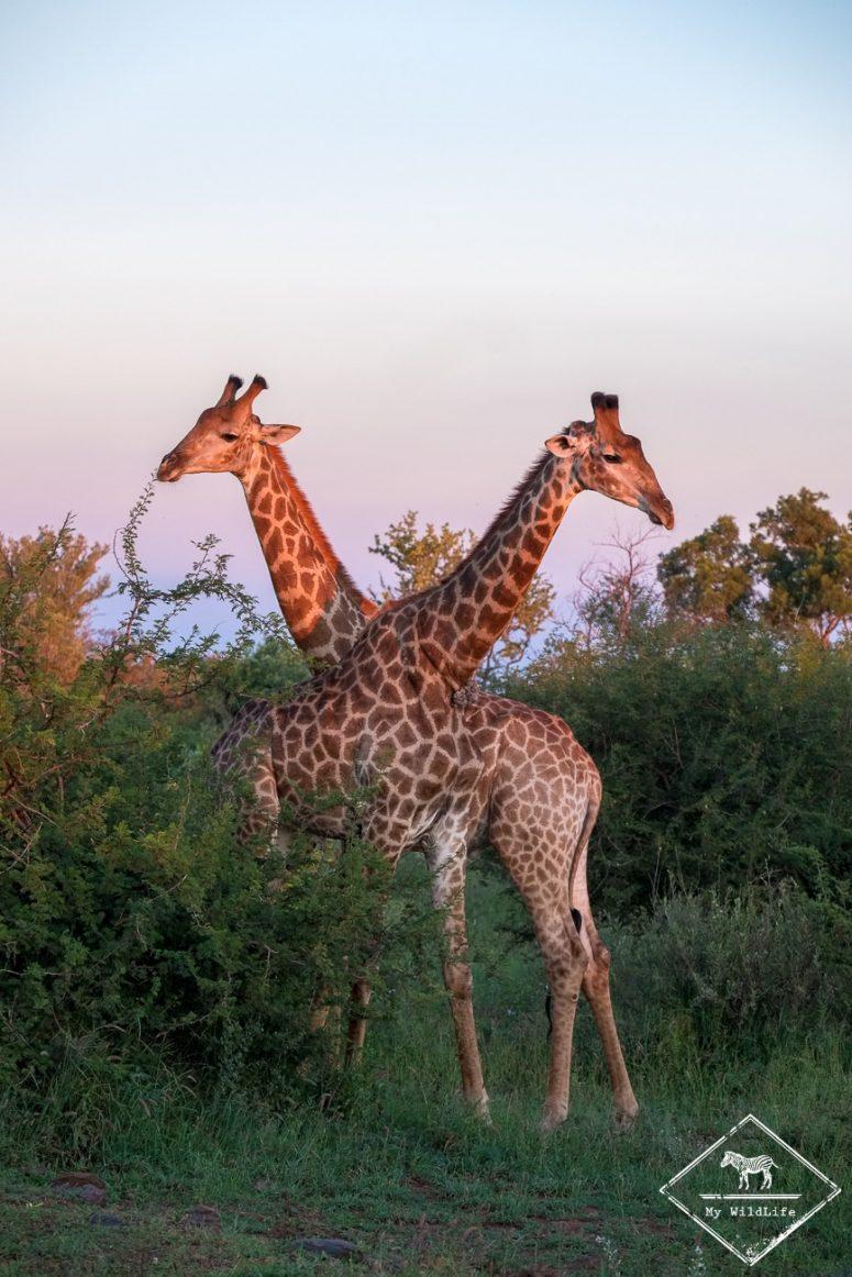 Girafes, Madikwe Game Reserve