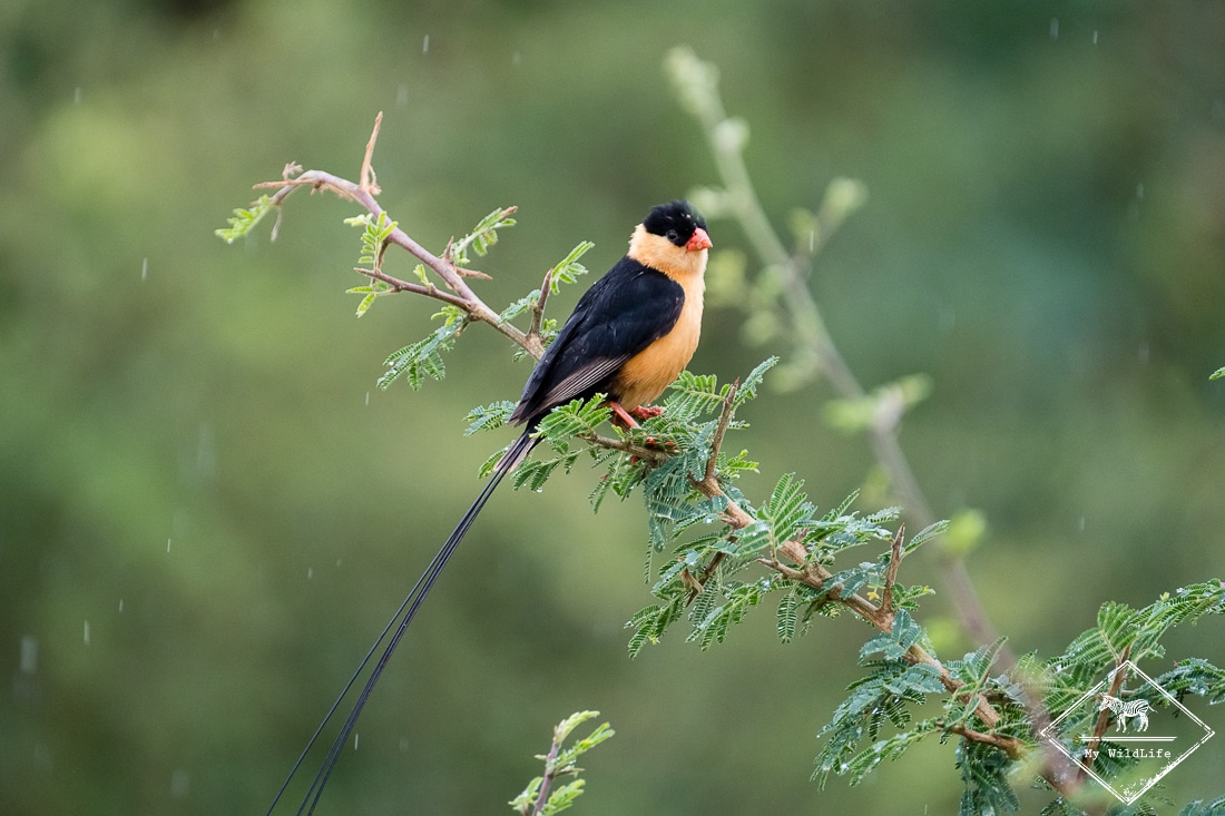 Veuve du Paradis, Madikwe Game Reserve