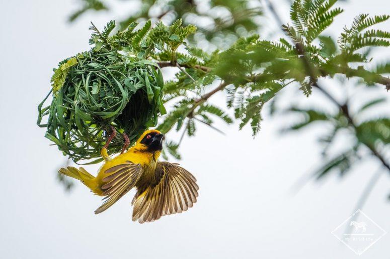 Tisserin à tête rousse, Madikwe Game Reserve.