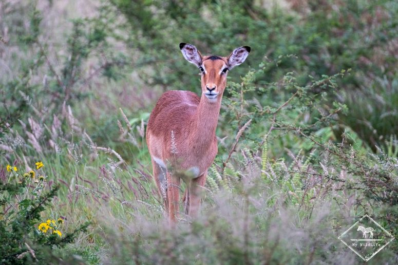 Femelle impala, Madikwe Game Reserve.