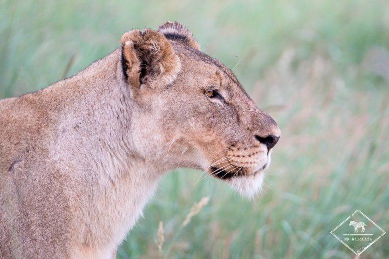 Lionne, Madikwe Game Reserve.