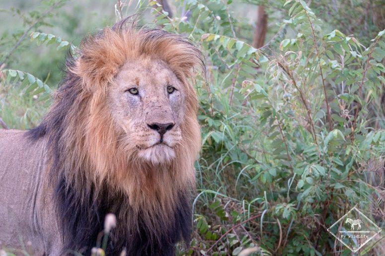 Lion, Madikwe Game Reserve.