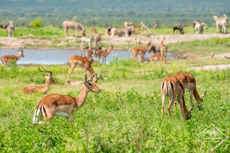 Impalas et zèbres autour d'un point d'eau, Madikwe Game Reserve