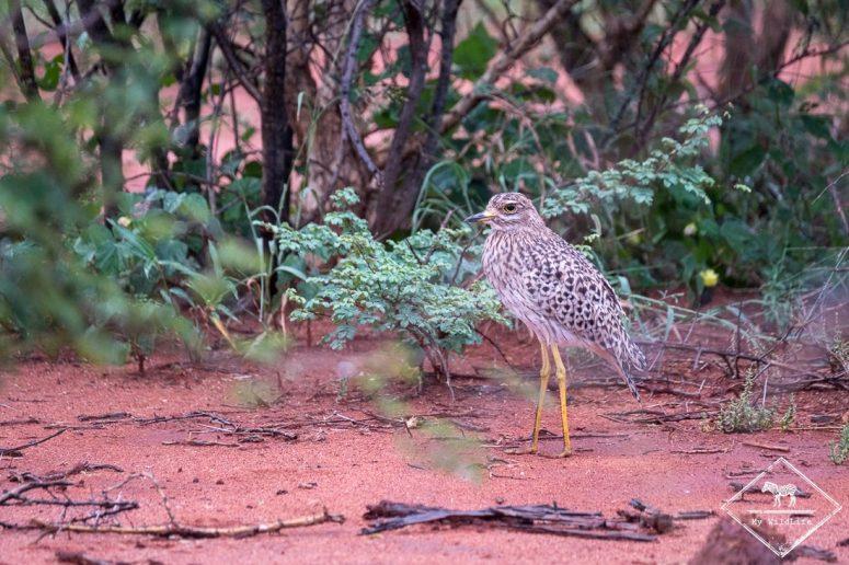 Oedicnème tachard, Madikwe Game Reserve.