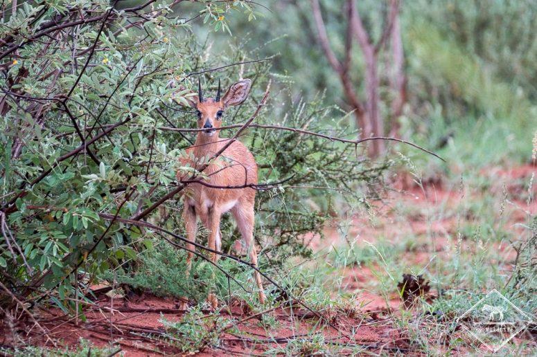 Steenbok ou rachiphère champêtre, Madikwe Game Reserve.