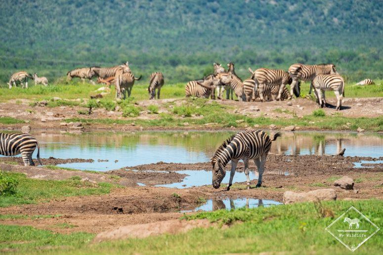 Zèbres autour d'un point d'eau, Madikwe Game Reserve.