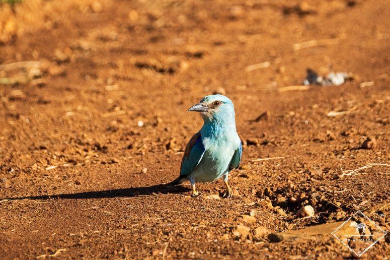 Rollier d'Europe, Madikwe Game Reserve.