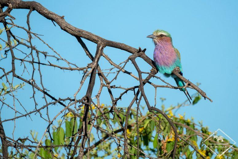 Rollier à longs brins, Madikwe Game Reserve.