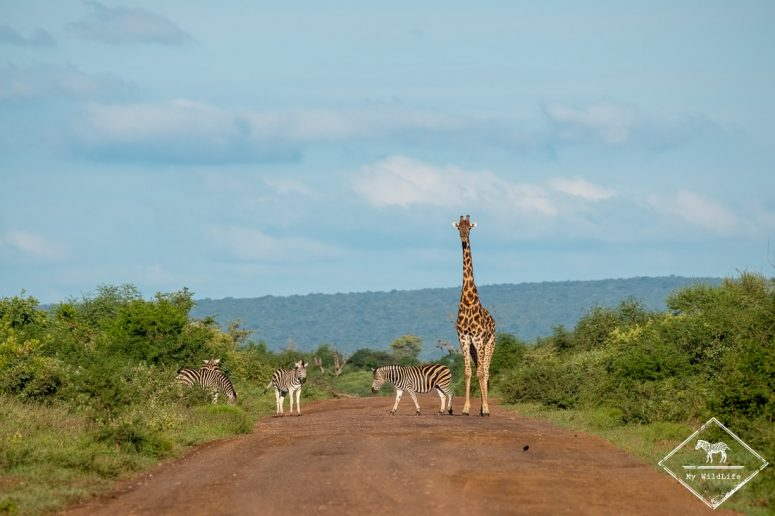 Zèbres et girafe sur la piste, Madikwe Game Reserve.