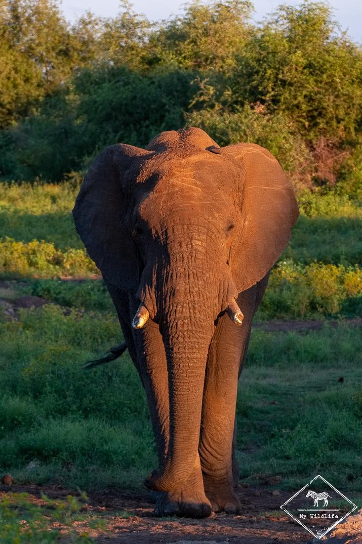 Eléphant, Madikwe Game Reserve.