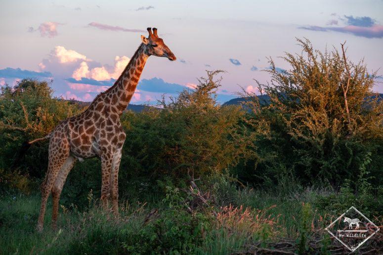 Girafes, Madikwe Game Reserve.