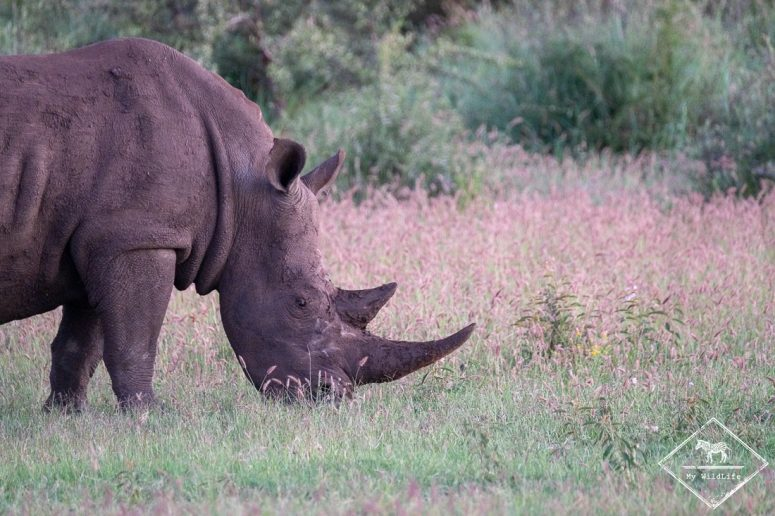 Rhinocéros blanc, Madikwe Game Reserve.