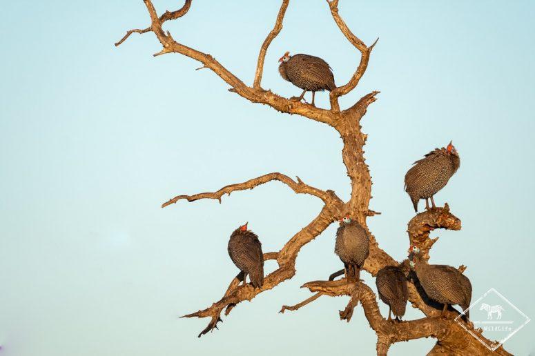 Pintades de Numidie,, Madikwe Game Reserve.