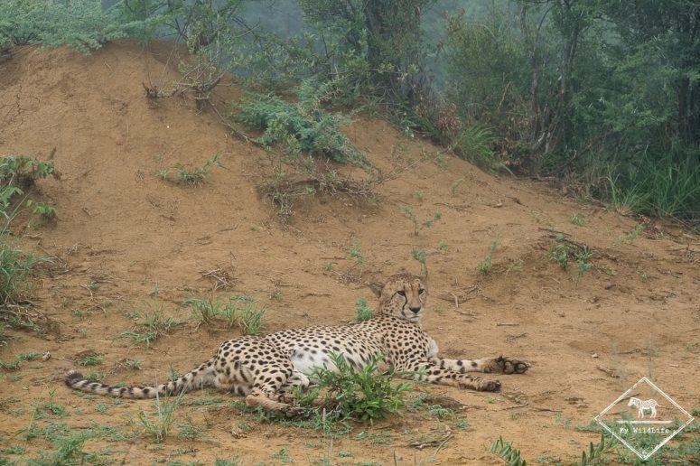 Guépard, Madikwe Game Reserve.
