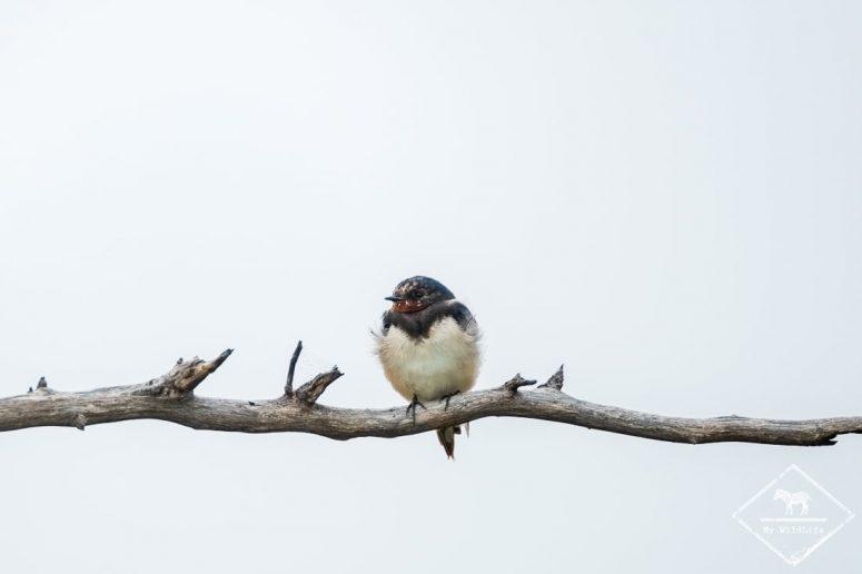 Hirondelle rustique, Madikwe Game Reserve.