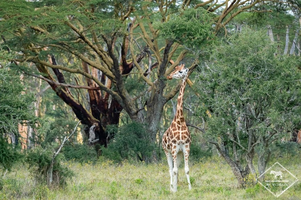 Girafe, parc national nakuru
