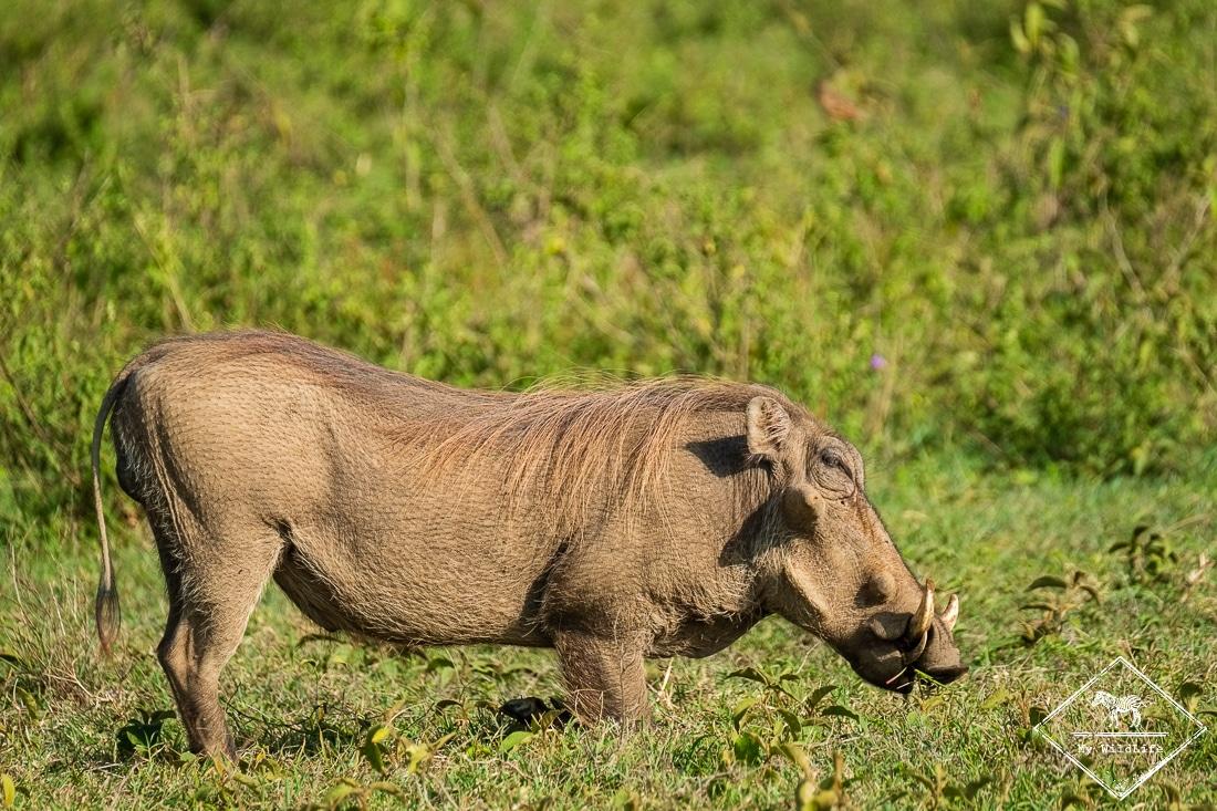 phacochère, parc national Nakuru