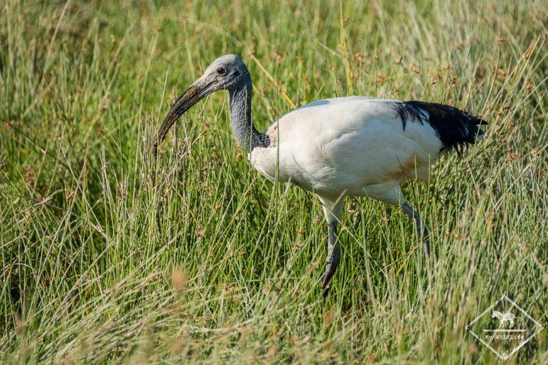 Safari à Amboseli - Ibis sacré