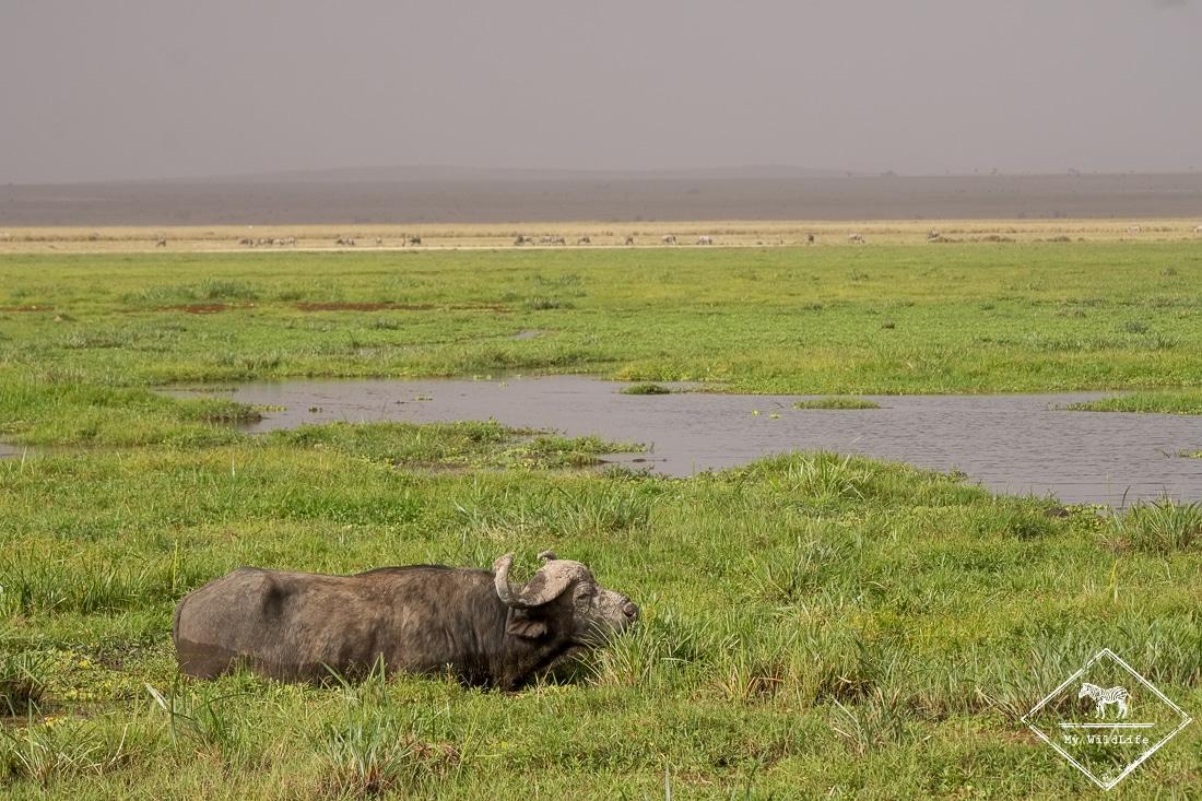 parc national Amboseli, buffle dans les marécages