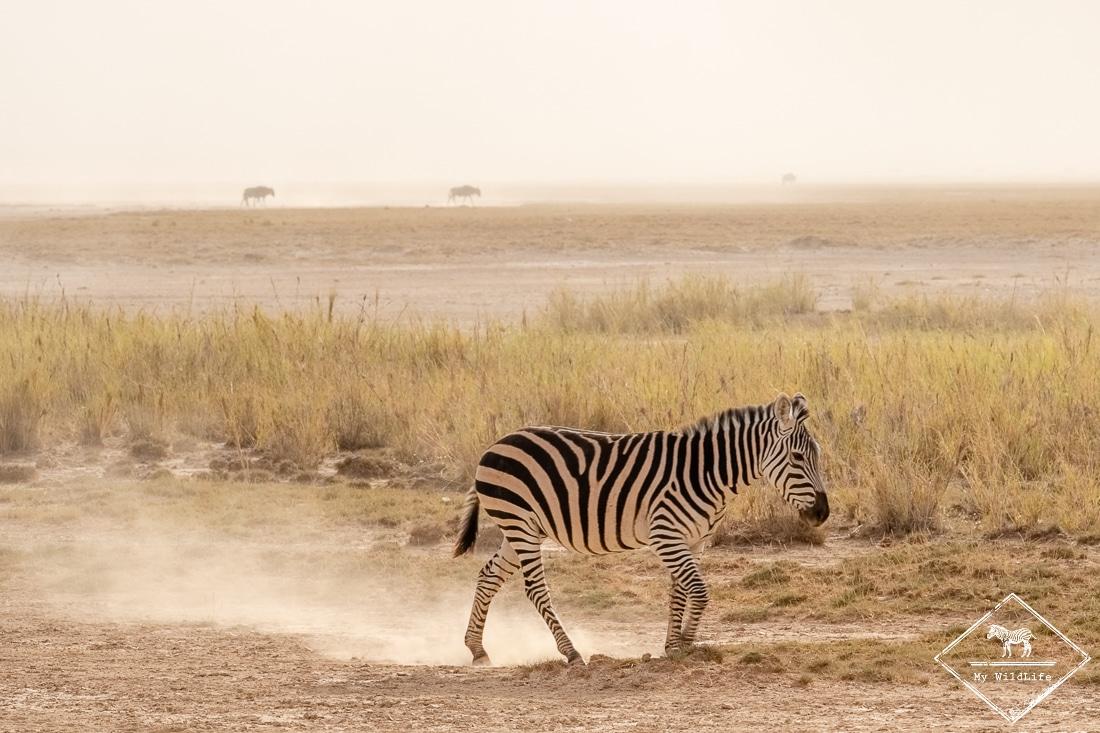 parc national Amboseli, zèbre