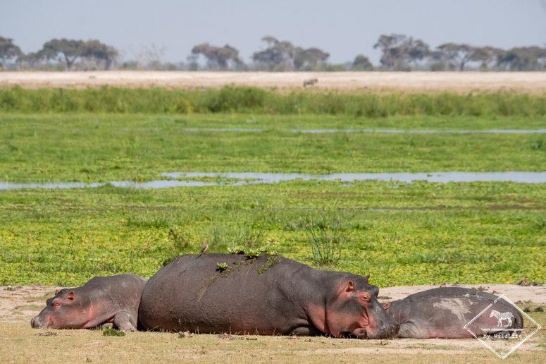 parc national Amboseli, hippopotames