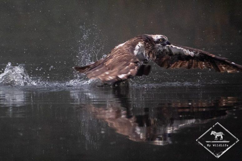 Cairngorms, balbuzard pêcheur