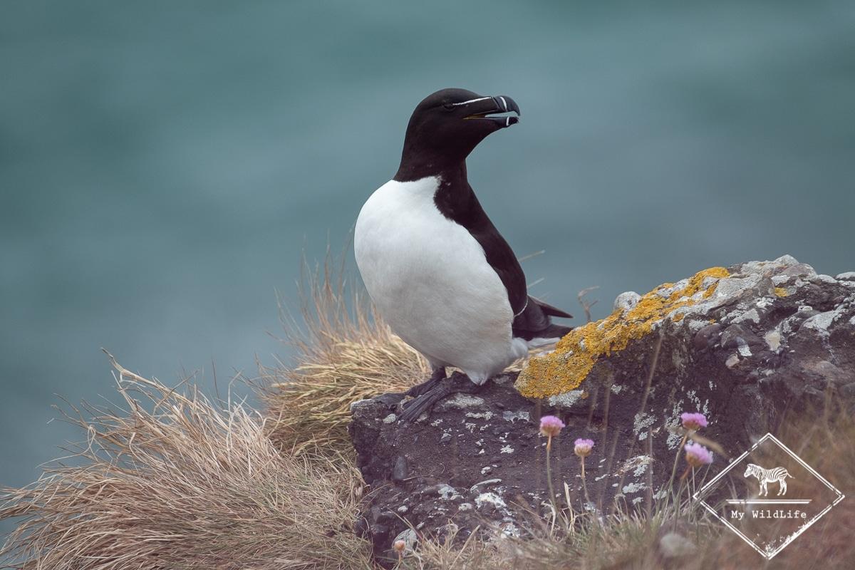 Fowlsheugh, pingouin torda