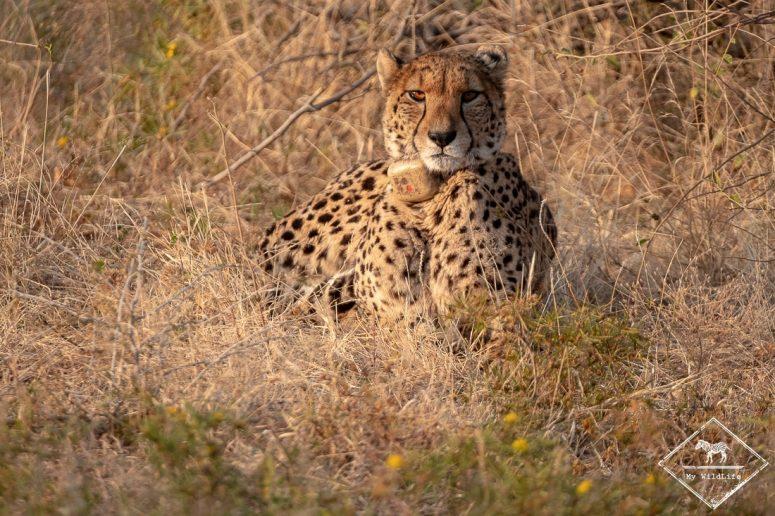 Guépard, Madikwe Game reserve