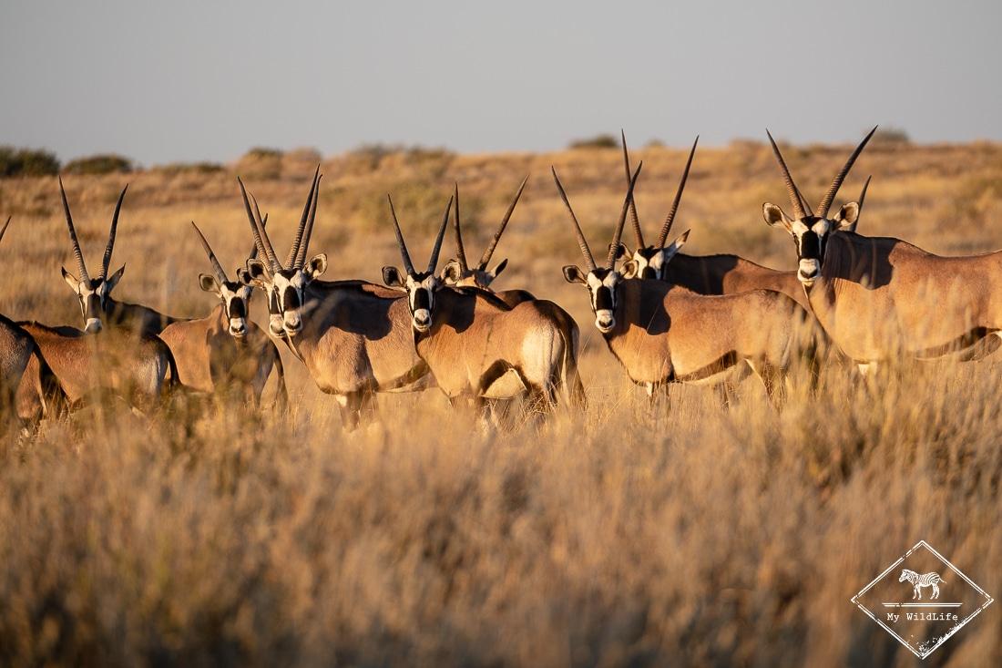oryx, parc national Kgalagadi