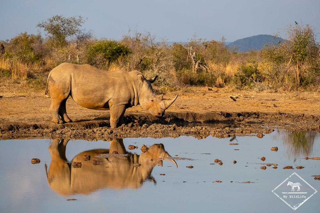 Rhinocéros blanc, Madikwe Game Reserve