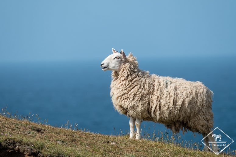 Mouton, St-Abb's Head