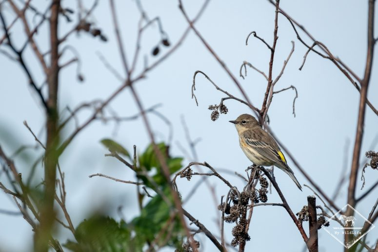 Paruline à croupion jaune, Réserve de faune du Cap Tourmente
